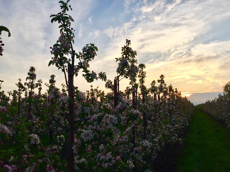 Apfelbluete Altes Land
