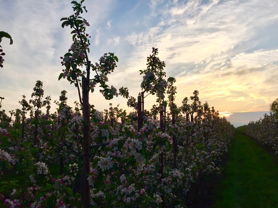 Sonnenuntergang ueber der Apfelplantage