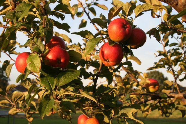 Der Apfel darf auf der Superfood Liste nicht fehlen