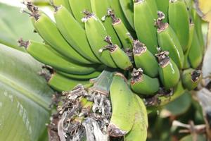 Bananen gehören zu einer gesunden Ernährung