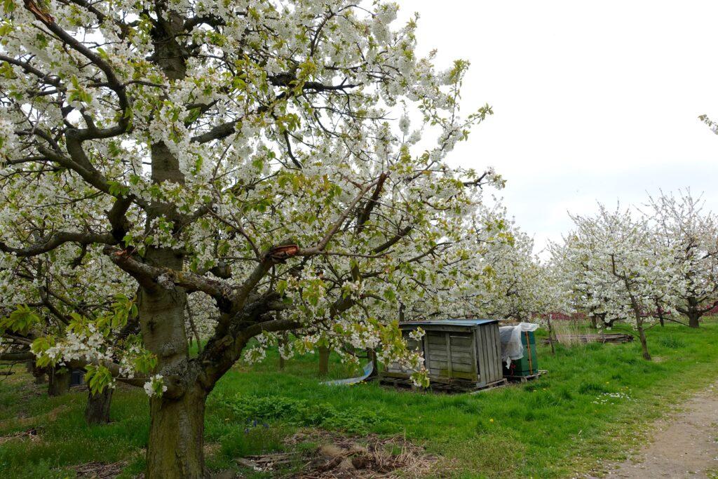 Apfelbluete im Alten Land