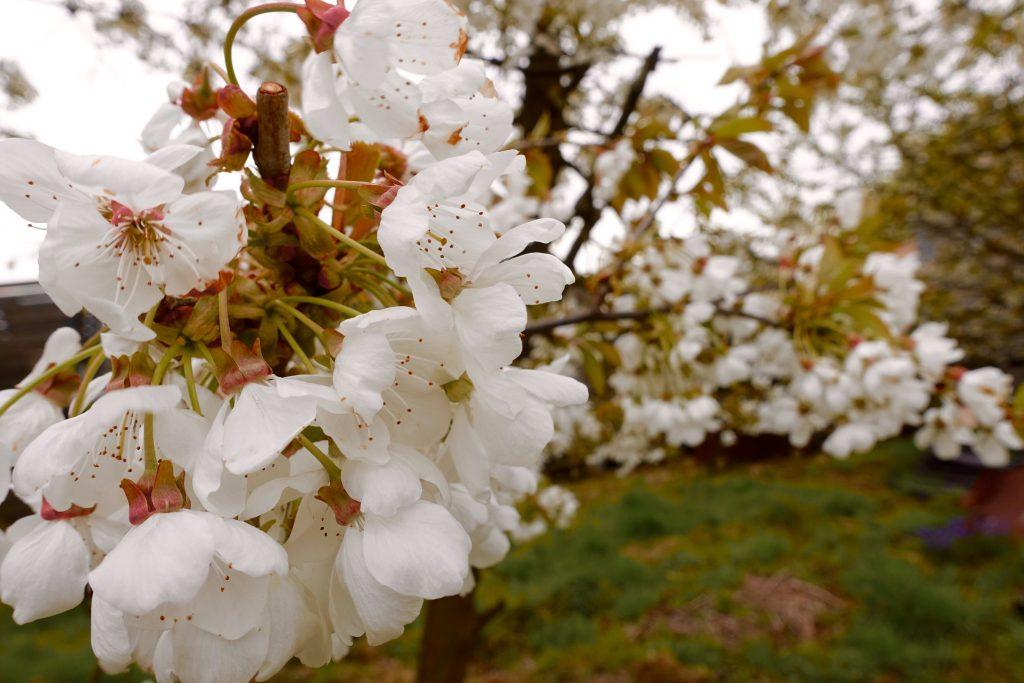 Kirschbluete Altes Land