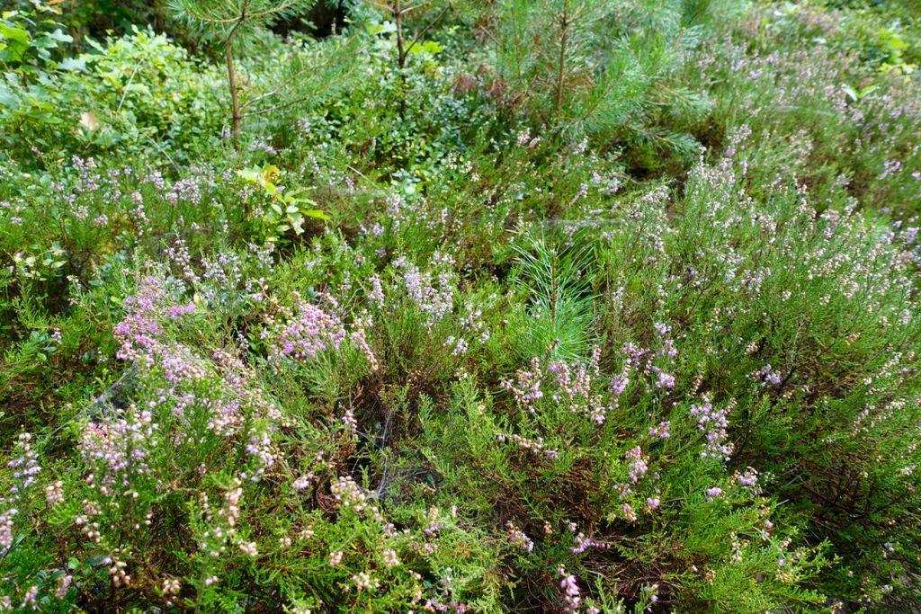 blühende Heide im Center Parcs Bispinger Heide
