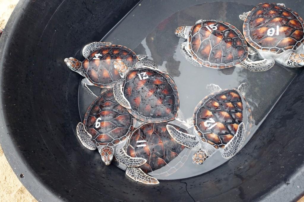 Diese Schildkröten treten gleich eine große Reise an