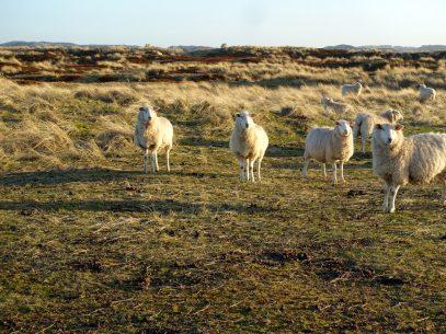 Lister Ellenbogen - Schafe kurz vor Sonnenuntergang