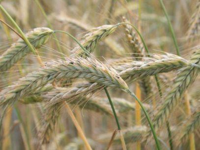 Hat es in sich - Getreide