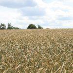 Beruhigender Anblick - ein Getreidefeld