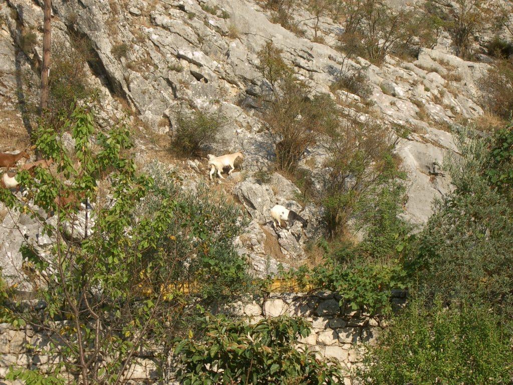 Montenegro - Ziegen in den Bergen