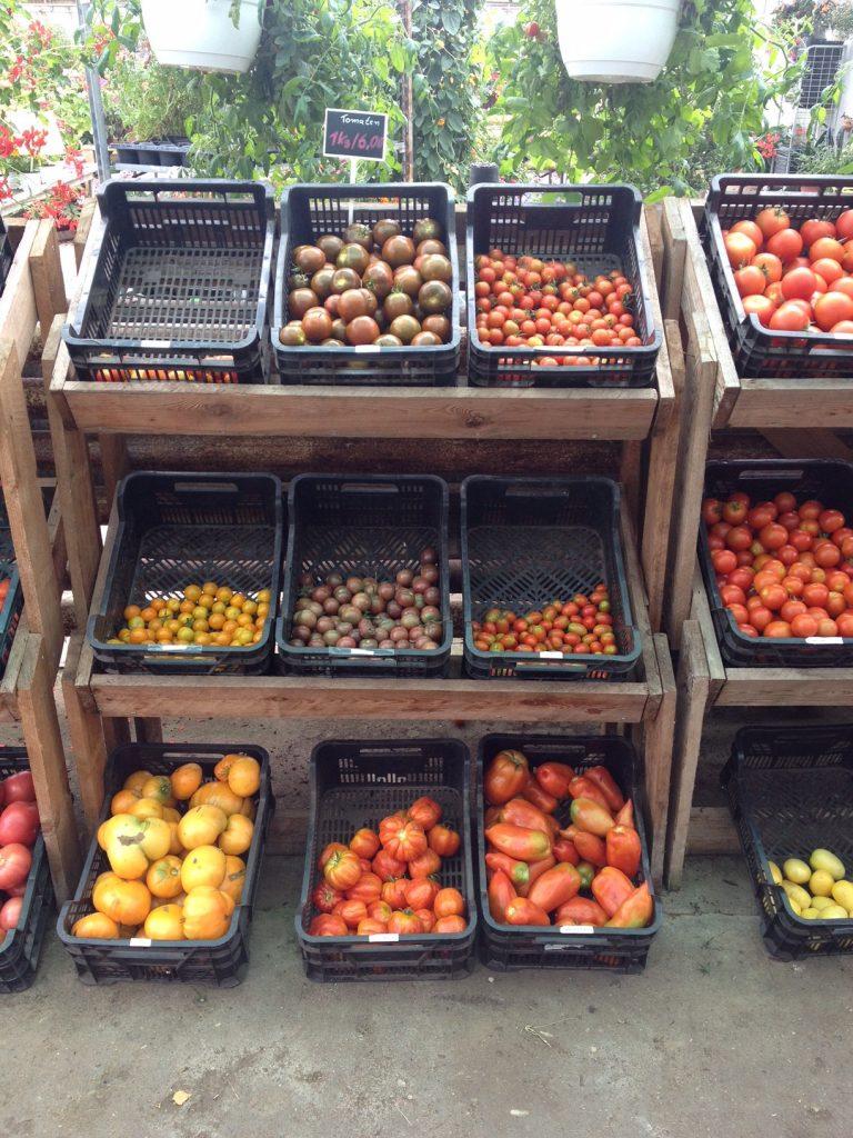 Tomaten auf Usedom