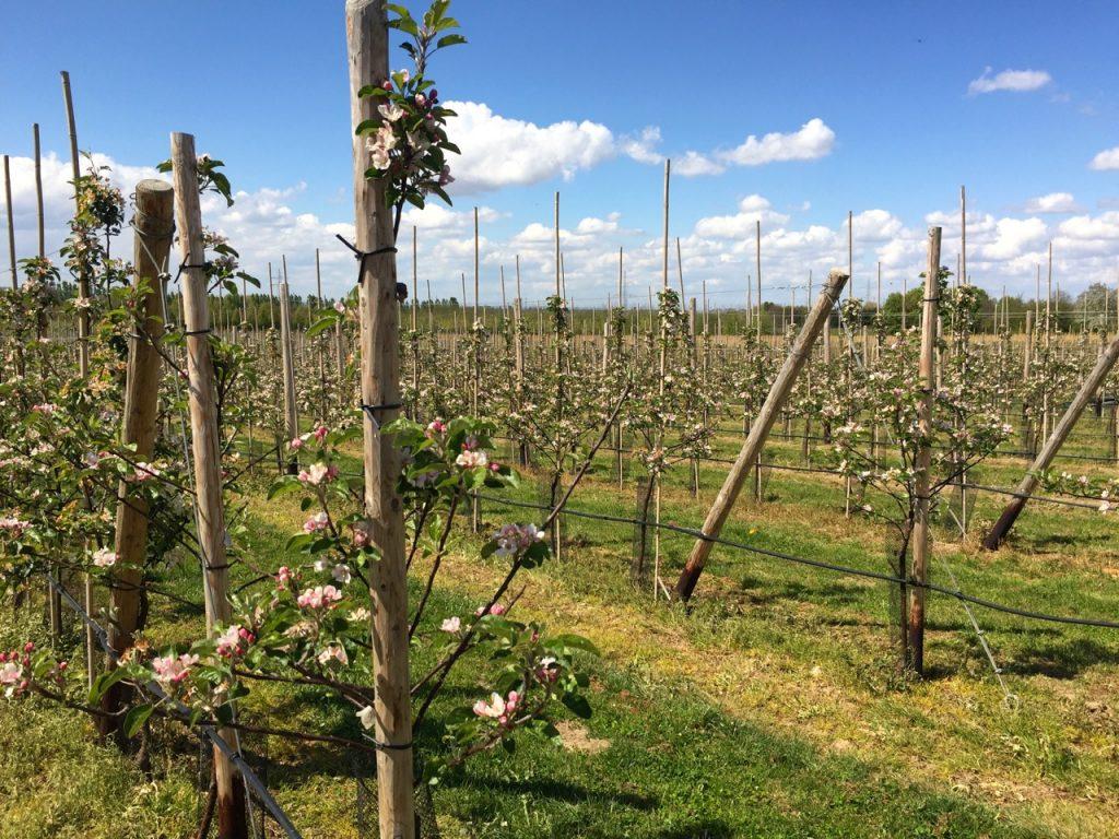Die Apfelbluete steht in den Startloechern - Meckenheim Bonn