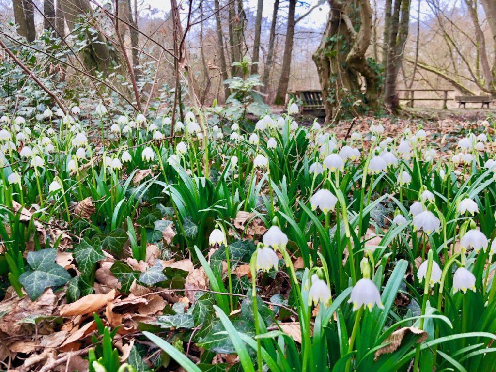 Moisburg Kirchgarten mit Schneegloeckchen