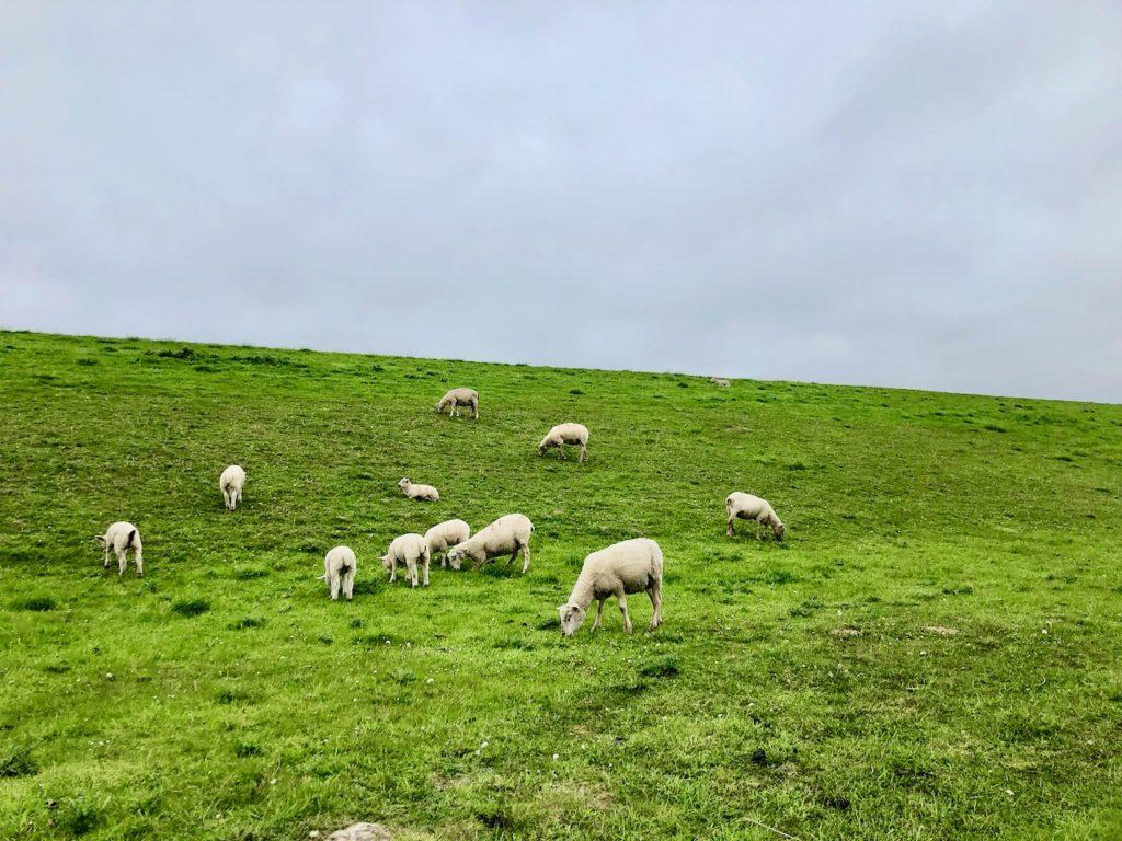 Schafe auf dem Deich Neuharlingersiel