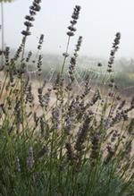 Lavendel riecht nicht nur gut, sondern passt auch in jeden Pflanzkasten auf Balkon und Terrasse