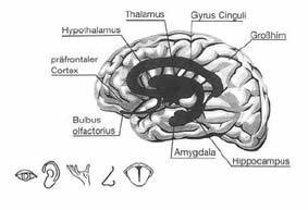 Gehirn und limbisches System