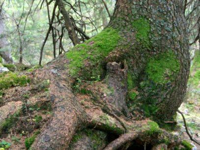 Moosbewuchs am Baum